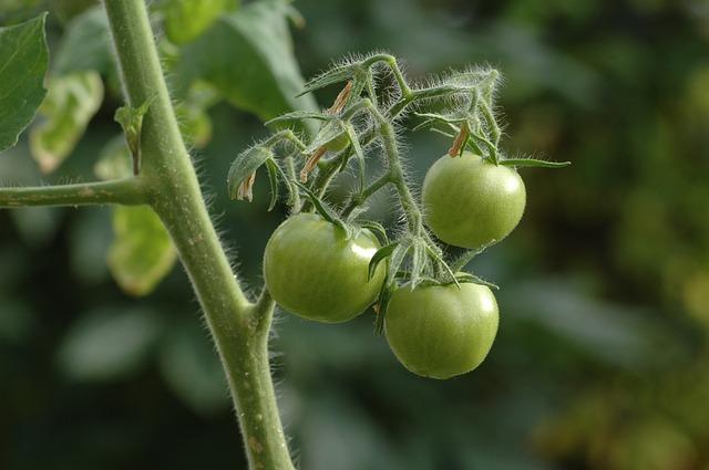 zelená rajčata