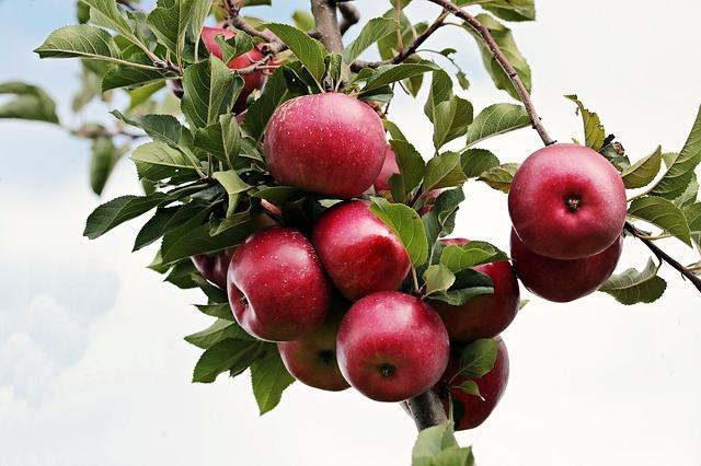 jablka na stromě
